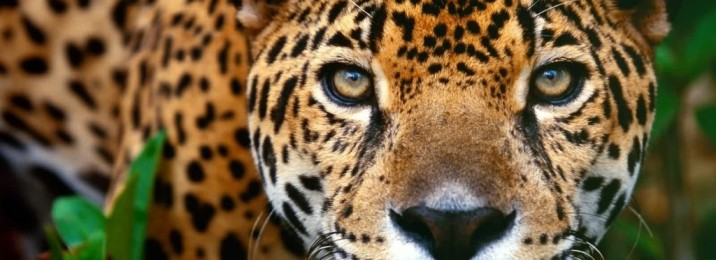 animals-animal-free-jaguar-166112