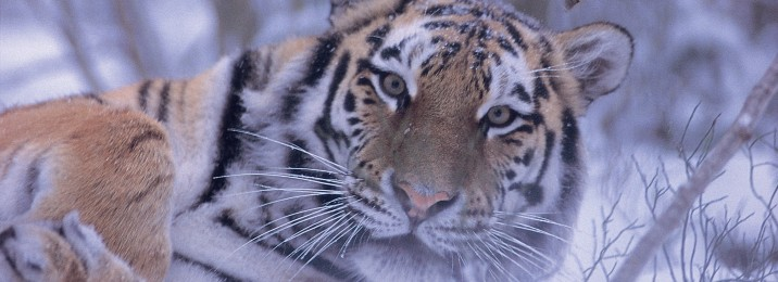 Amur tiger crop